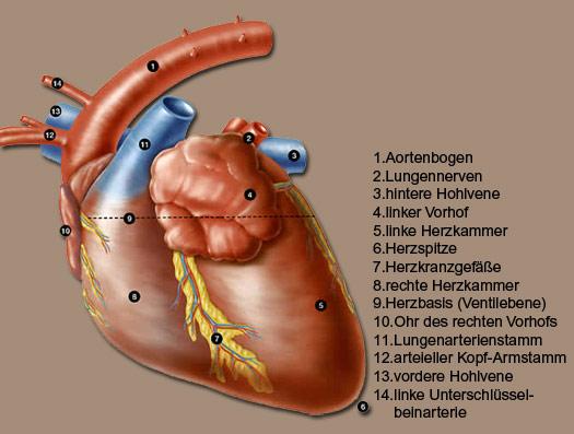 Innere Organe der Katze